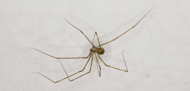 Daddy long legs Another spider in our dinning room Sep 29 2015 1935